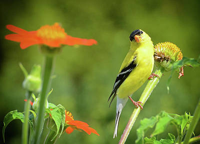 Photograph - Goldfinch Feeding In A Garden by Rodney Campbell