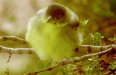 Photograph - Goldfinch Fluffball 1 by Judy Kennedy