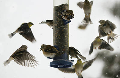 Photograph - Goldfinch Frenzy by John Meader