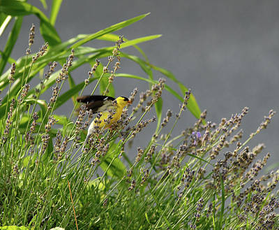 Photograph - Goldfinch by Gregory Blank