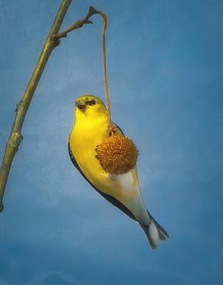 Wall Art - Photograph - Goldfinch Hanging On To A Sycamore Seed Pod by Martin Belan