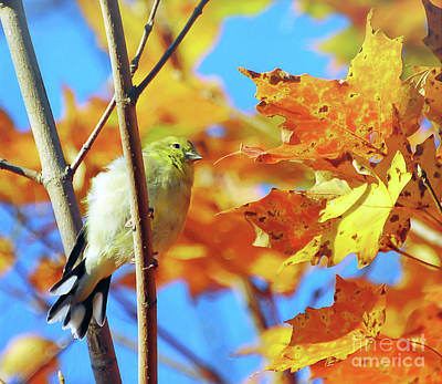 Photograph - Goldfinch In Autumn Leaves  by Kerri Farley