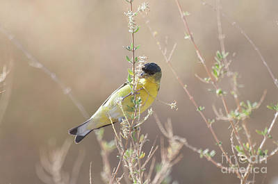 Photograph - Goldfinch In Morning Light by Ruth Jolly