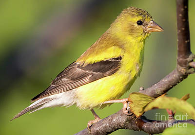 Photograph - Goldfinch In The Early Morning  by Ricky L Jones