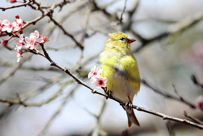 Photograph - Goldfinch In The Plum Tree by Trina Ansel