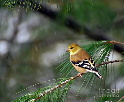 Photograph - Goldfinch In The Snow by Kerri Farley