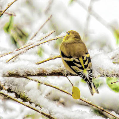 Photograph - Goldfinch In Winter Colors by Bellesouth Studio