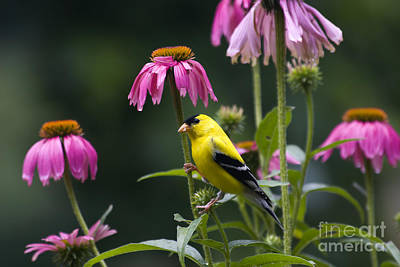 Photograph - Goldfinch by Jill Lang