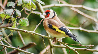 Photograph - Goldfinch by Joe Ormonde