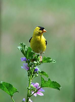 Photograph - Goldfinch by Kathy Eickenberg
