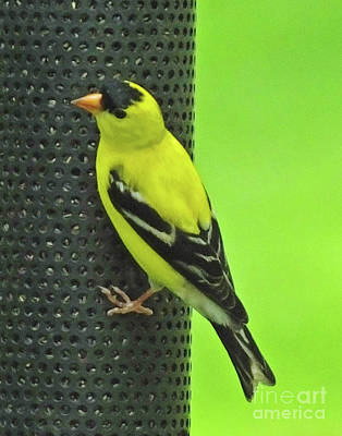 Photograph - Goldfinch by Lizi Beard-Ward