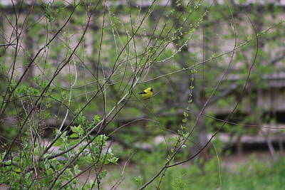 Photograph - Goldfinch Of Lake Redman by Donald C Morgan