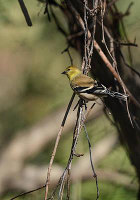 State Love Nancy Ingersoll - Goldfinch On A Branch 122520151340 by WildBird Photographs