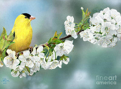 Drawing - Goldfinch On Cherry Blossom by Sheryl Elen