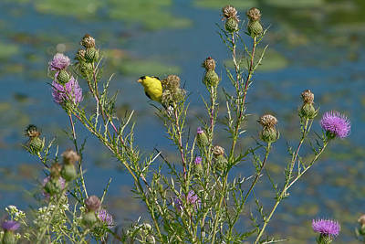 Photograph - Goldfinch On Thistle by Ron Grafe