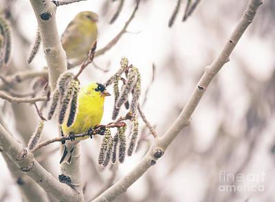 Photograph - Goldfinch Perch by Cheryl Baxter