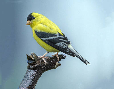 Photograph - Goldfinch Profile by William Bitman