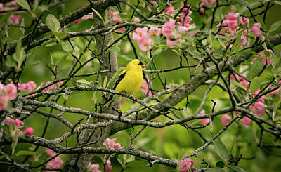 Photograph - Goldfinch by Ray Congrove