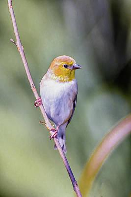 Songbird Photograph - Goldfinch by Rick Higgins