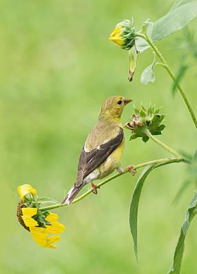 Photograph - Goldfinch Snackbar by Jim Zablotny