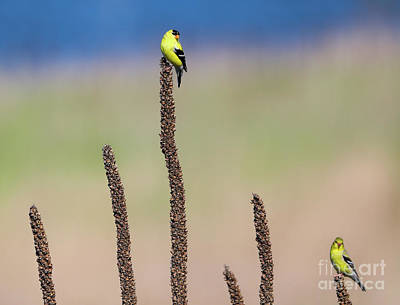 Photograph - Goldfinch Territory by Elizabeth Winter