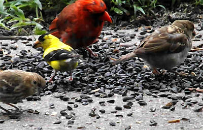 Photograph - Goldfinch With Birdseed by Colette Merrill