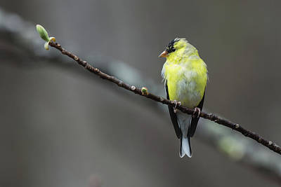 Photograph - Goldfinch With Spring Buds by John Haldane