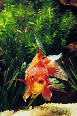 Goldfish Carassius Auratus Art Print by Gerard Lacz