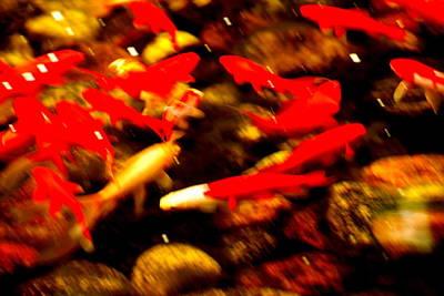 Photograph - Goldfish by Douglas Pike