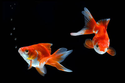 Goldfish Photograph - Goldfish by Dung Ma