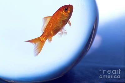 Fish Bowl Photograph - Goldfish Swimming In A Small Fishbowl by Sami Sarkis