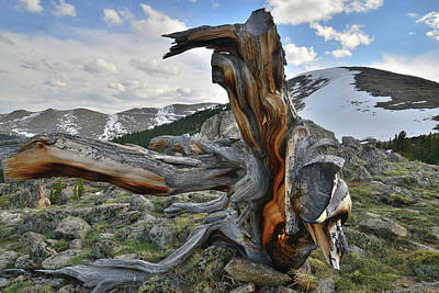 Photograph - Goliath Natural Area Bristlecone by Ray Mathis