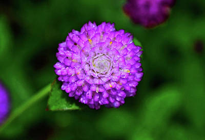 Photograph - Gomphrena - Globe Flower 005 by George Bostian