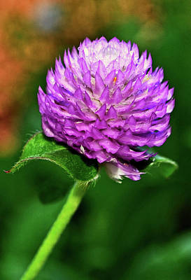 Photograph - Gomphrena - Globe Flower 006 by George Bostian