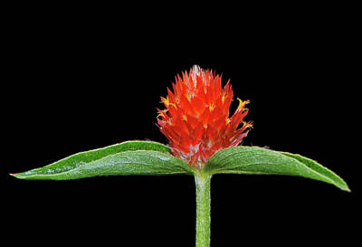 Photograph - Gomphrena - Globe Flower 008 by George Bostian