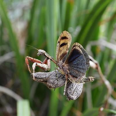 Photograph - Gonatista Grisea - Grizzled Mantis by rd Erickson
