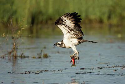 Photograph - Sea Hawk  by Scott Warner