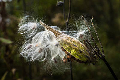 Photograph - Gone To Seed by Bill Pevlor