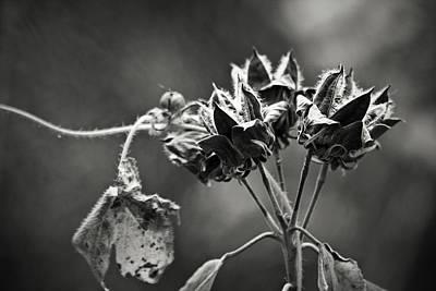 Gone To Seed Hibiscus Art Print by Teresa Mucha