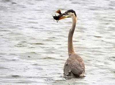 Photograph - Good Catch by Betty-Anne McDonald