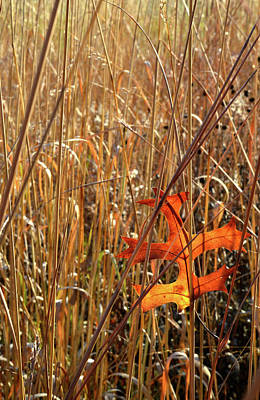 Photograph - Good Catch - Oak Leaf Caught By Grasses In Glacial Park by Ray Mathis