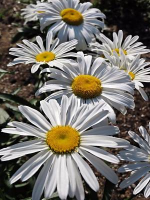 Photograph - Good Morning Daisies by MTBobbins Photography
