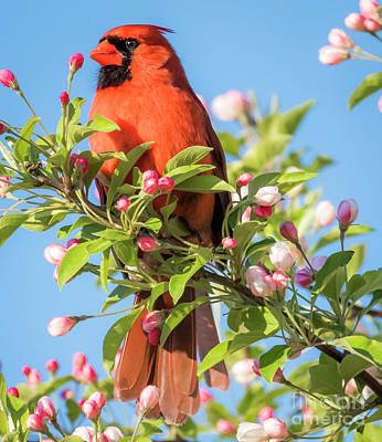 Photograph - Good Morning Mr Cardinal  by Ricky L Jones
