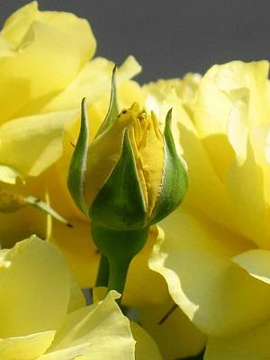 Yellow Rosebud Photograph - Good Morning Sunshine by Marla McFall