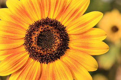 Yellow And Orange Sunflower Photograph - Good Morning Sunshine by Rachel Cohen