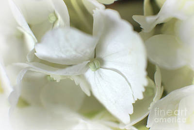 Photograph - Goodnight Sweetheart - White Hydrangea Macro by Ella Kaye Dickey
