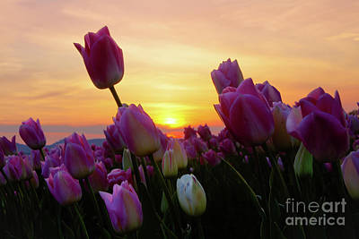 Photograph - Goodnight Tulips by Idaho Scenic Images Linda Lantzy