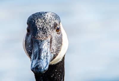 Photograph - Goofy Goose Face by Jeff at JSJ Photography