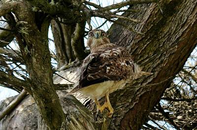 Photograph - Goofy Hawk  by Christy Pooschke