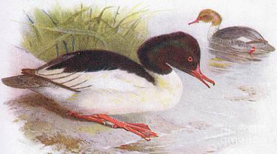 Geese Painting - Goosander by Archibald Thorburn